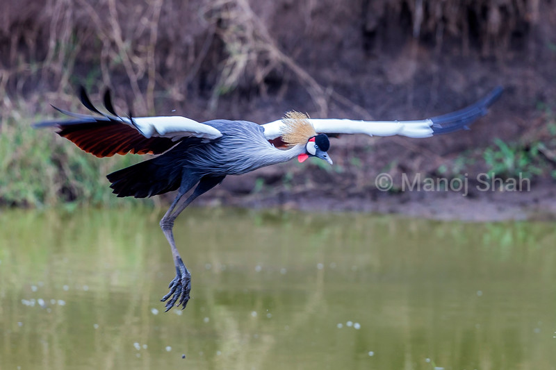 Crown Crane in a flight over a riveir in Masai Mara.