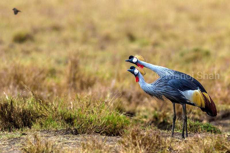Crown cranes watching keenly a bird flying above them in Masai Mara.
