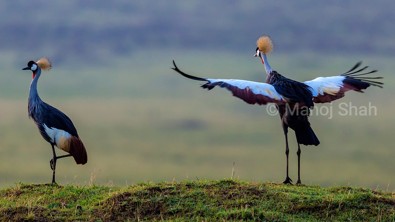 Crown Cranes in mating ritual