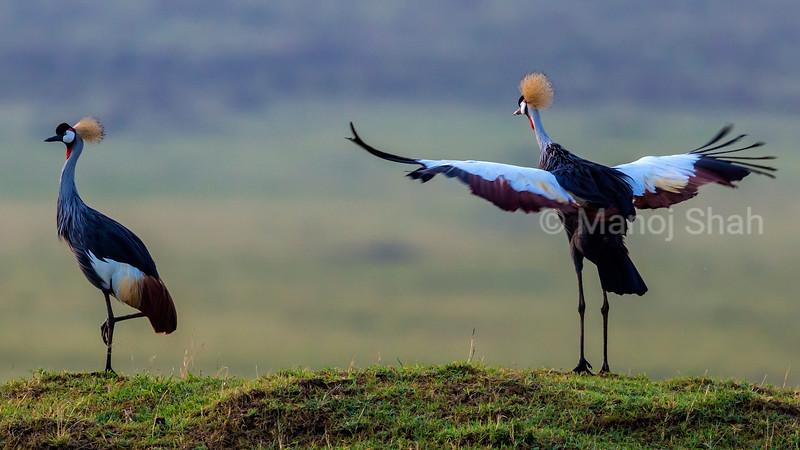 Crown Cranes in mating ritual