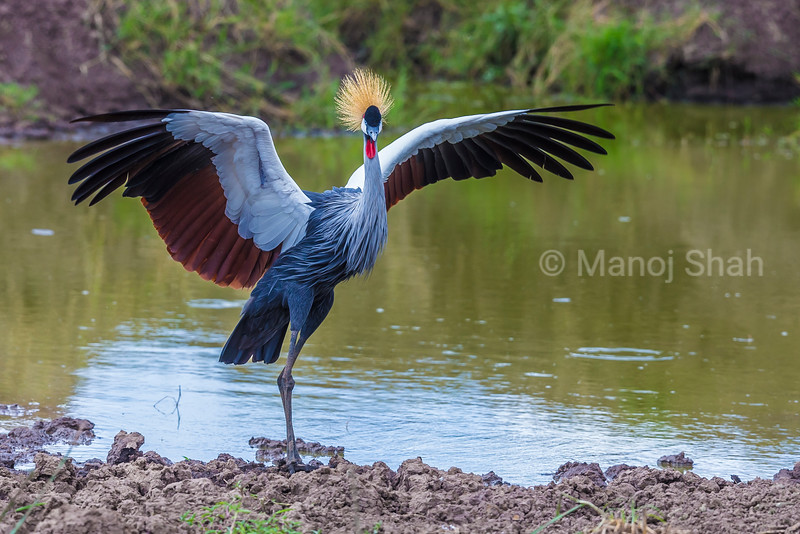 Crown Crane spreading wings at a river in Masai Mara.