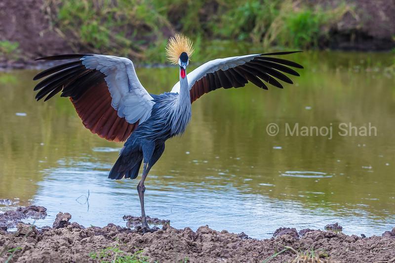 Crown Crane spreading wings at a river in Masai Mara.