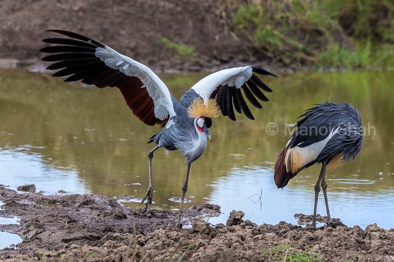 Crown Crane spreading wings at River, Masai Mara.