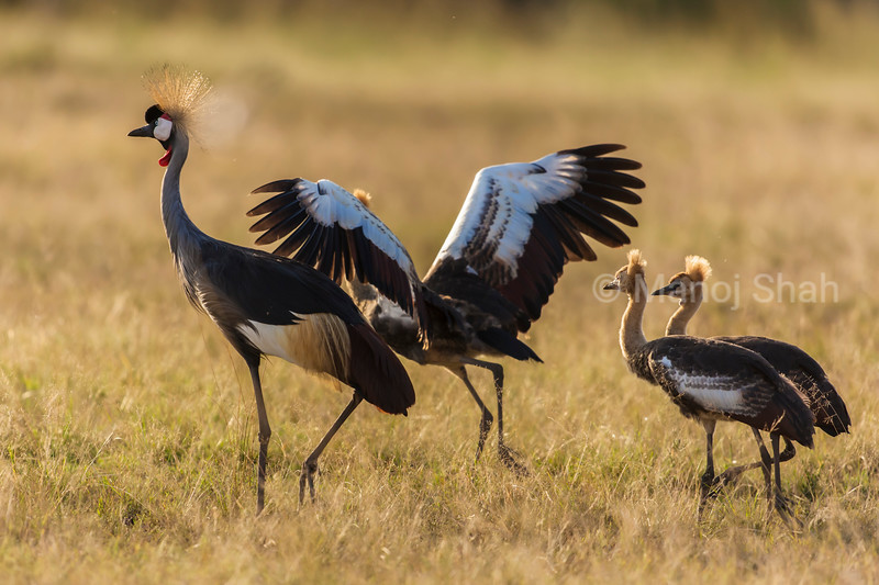 Crowned Cranes with 2 sub adult young chicks.