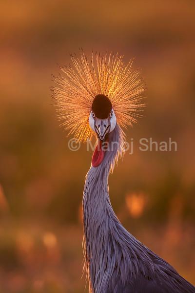 Crown Crane close up in Masai Mara.