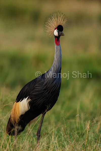 Crown Crane adult