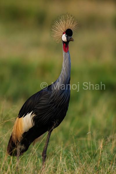 Crown Crane adult