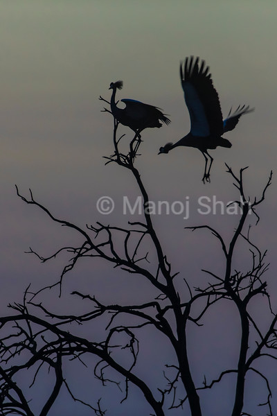 Crowned Cranes on tree top before sunrie