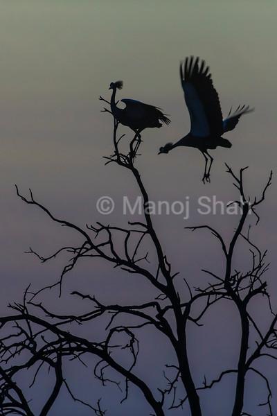 Crowned Cranes on tree top before sunrie