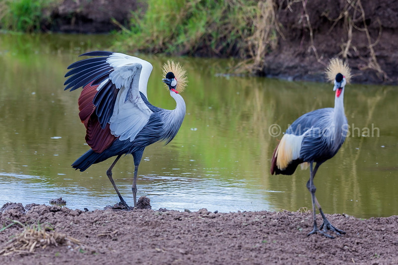Crown Crane spreading wings at a river [n Masai Mara.