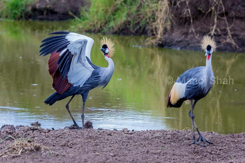 Crown Crane spreading wings at a river [n Masai Mara.