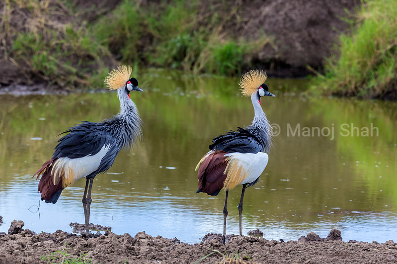 Crown Cranes standing on a river bank in Masai Mara.