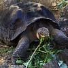Galapagos Islands, Giant Tortoise Eating, Santa Cruz
