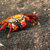 Glapagos Islands, Sally Lightfoot Crab