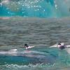 Un-Cruise Adventures,  Bonaparte's Gulls, Dawes Glacier
