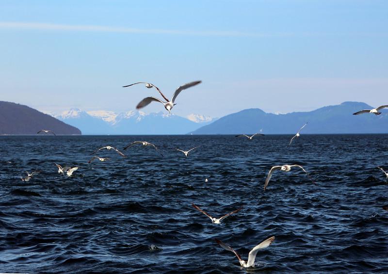 Un-Cruise Adventures, Sea Gulls, Idaho Inlet, Icy Strait