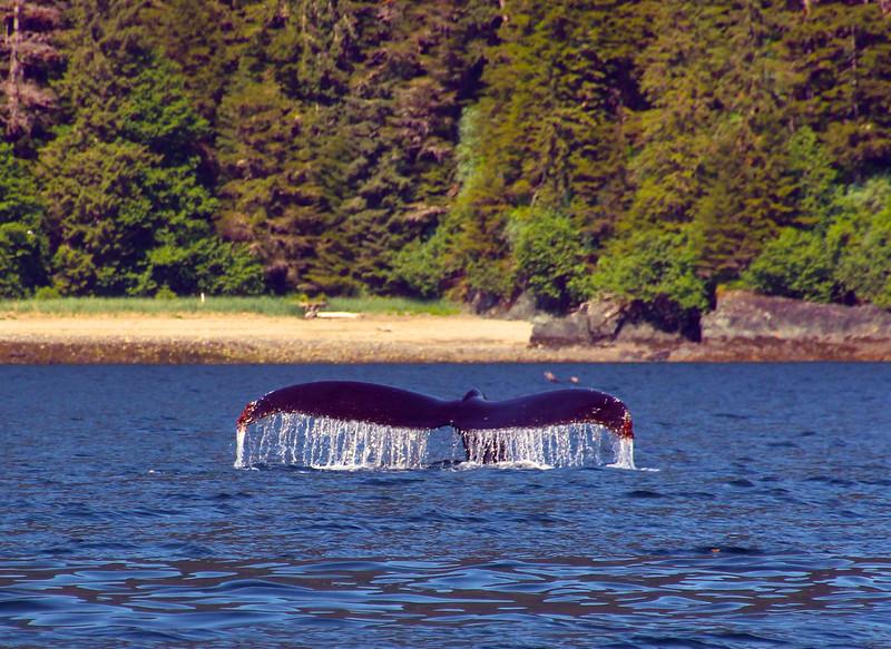 Un-Cruise Adventures, Humpback Whale Fluke