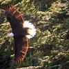 Un-Cruise Adventures, Bald Eagle in Flight, Idaho Inlet