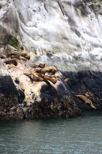Un-Cruise Adventures, Diving Sea Lion, Glacier Bay National Park