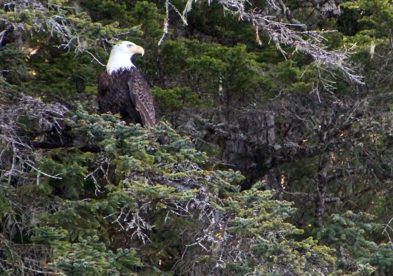 Un-Cruise Adventures, Bald Eagle in Tree, Idaho Inlet