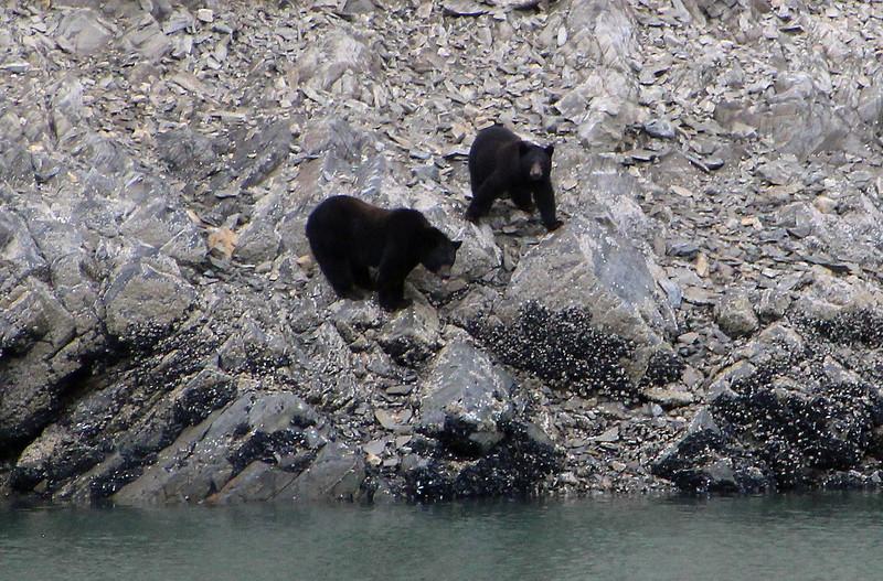Un-Cruise Adventures, Bears on Rocks,  Tidal Inlet, Glacier Bay National Park