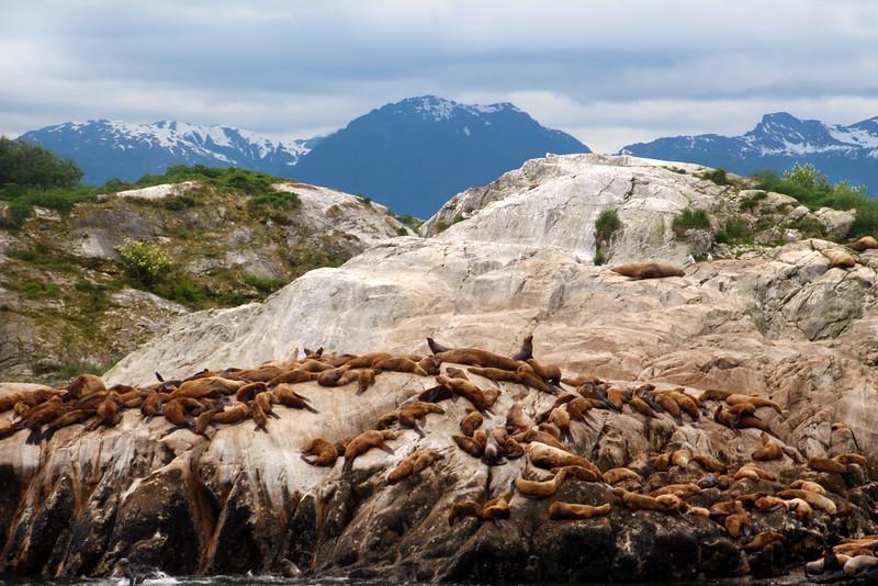 Un-Cruise Adventures, Glacier Bay, Colony of Sea Lions