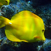 Hawaii, UnCruise Adventures, Big Island, Kealakekua Bay, Yellow Tang Close up