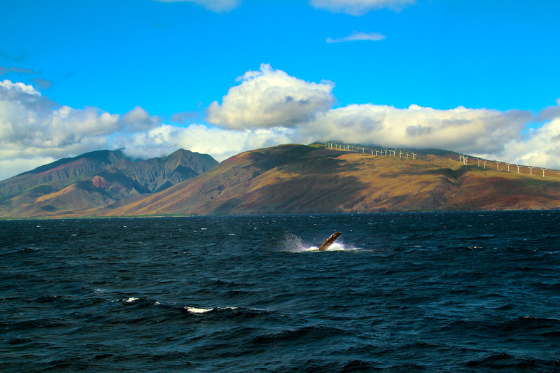 Hawaii, UnCruise Adventures, Humpback Whale, Maui