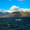 Hawaii, UnCruise Adventures, Humpback Whale, Maui