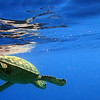 Hawaii, UnCruise Adventures, Green Sea Turtle, Mala Pier, Maui