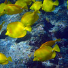 Hawaii, UnCruise Adventures, Big Island, Kealakekua Bay, Yellow Tang