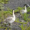 Nene geese strut amongst the kukae nene plant.