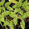 The uluhe fern is native to Hawaii. Photo by Pam Stewart.