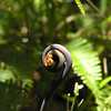 A fiddlehead slowly uncurls in the rainforest.