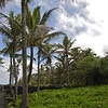 Coconut trees rise above naupaka bushes in Puna. Photo by Amberle Keith.