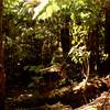 Typical reainforest outside of Thurston (Nahuku) lava tube includes ohia, olapa, and hapuu.
