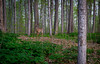 Sacred Grove Deer-1