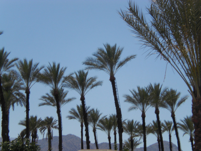 Ladders permanently attached--date palms have to be fertilized by hand
