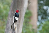 Red-headed Woodpecker poses atop snag • May's Point at Montezuma NWR, NY • 2013
