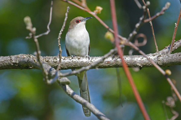 Black-billed Cuckoo perched on branch • Beechwood State Park, Sodus NY • 2021