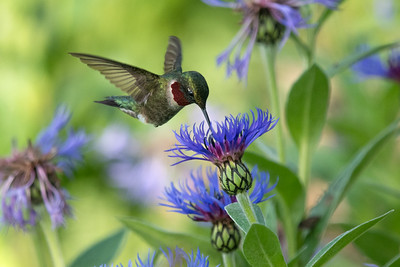 Ruby-throated Hummingbird male feeds on Bachelor's Button flowers • Sterling Nature Center, NY • 2016