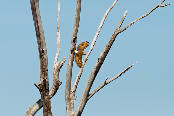 Northern Flicker flies past snags with wings spread • Canandaigua Inlet, NY • 2010