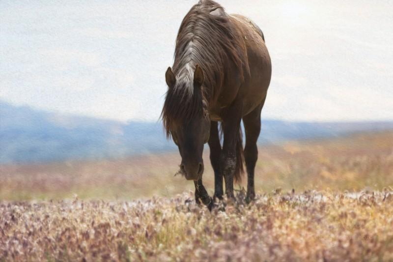 Black Stallion-Onaqui