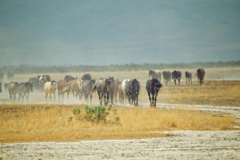 Desert Winds-Wild Horses