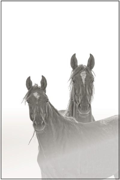 Pilot Butte Wild Horses Portrait