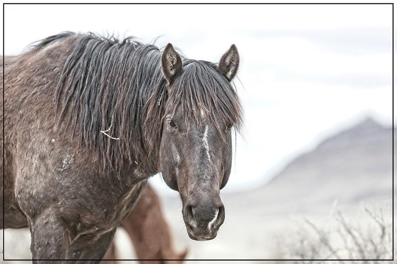 Eating Snow-Young Onaqui Stallion