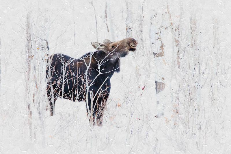 Browsing Moose