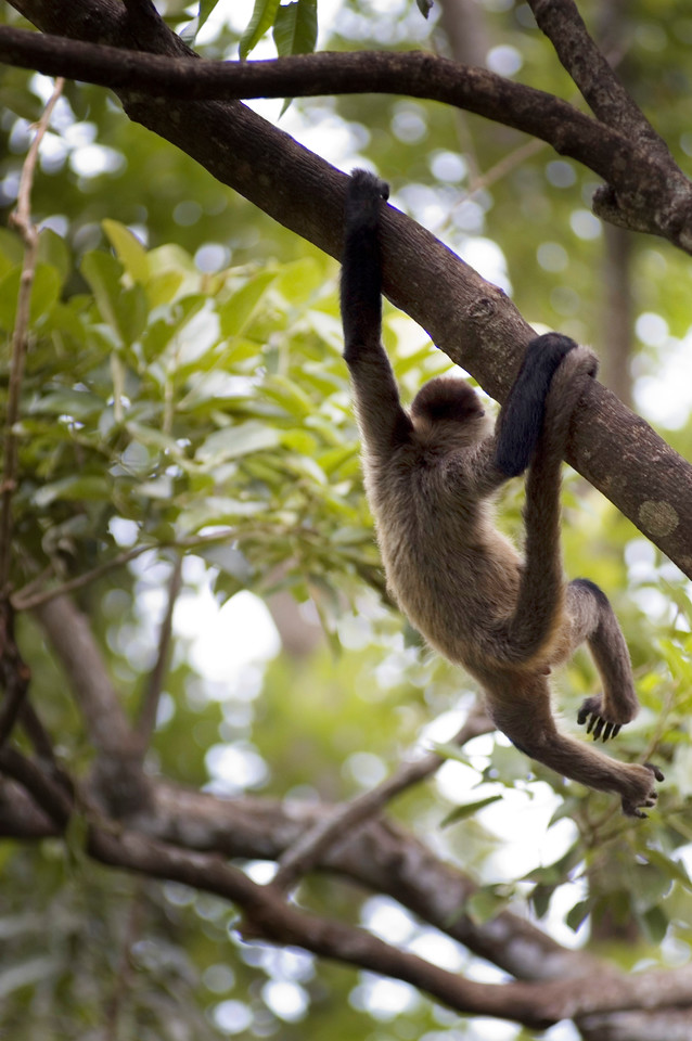 Wild spider monkey hanging from a tree - photographed by Professional Wildlife and Nature Photographer - sold by the nature and wildlife stock photography picture library
