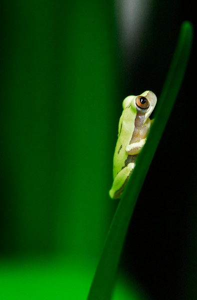 treefrog_CCC9996