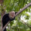 Wild Capuchin Monkeys